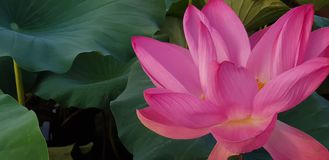 Flower, Plant, Lotus, Sacred Lotus stock photo