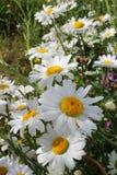 Flower, Plant, Oxeye Daisy, Flowering Plant