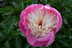 Flower, Plant, Peony, Flowering Plant royalty free stock images