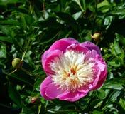 Flower, Plant, Peony, Flowering Plant stock photo