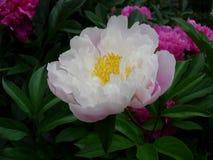 Flower, Plant, Peony, Flowering Plant stock photography