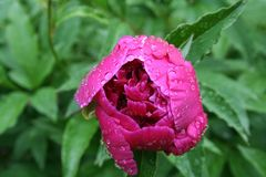 Flower, Plant, Peony, Flowering Plant royalty free stock photos