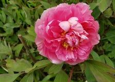 Flower, Plant, Peony, Flowering Plant royalty free stock photo