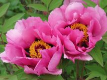 Flower, Plant, Peony, Flowering Plant royalty free stock photography