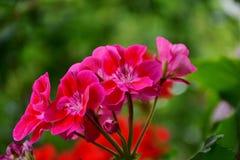 Flower, Plant, Pink, Flora Stock Photo
