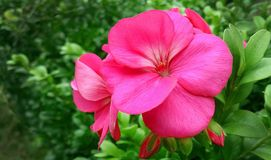 Flower, Plant, Pink, Flora Stock Photos