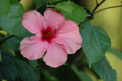 Flower, Plant, Pink, Flowering Plant royalty free stock images