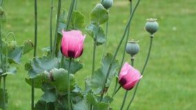 Flower, Plant, Poppy, Wildflower royalty free stock image