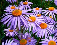 Flower, Plant, Purple, Aster Royalty Free Stock Photography