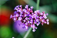Flower, plant, flowering plant, flora, purple, lilac, verbena. Flower is plant, purple and spring. That marvel has flowering plant, lilac and verbena family and royalty free stock photos