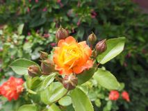 Flower, Plant, Rose Family, Flowering Plant royalty free stock photography