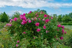 Flower, Plant, Rose Family, Flowering Plant royalty free stock photo