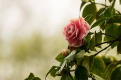 Flower, Plant, Rose Family, Pink Royalty Free Stock Images