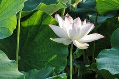 Flower, Plant, Sacred Lotus, Lotus Stock Photos