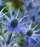 Flower, Plant, Thistle, Flora Stock Photos