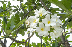 Flower plant tree leaf green white aroma concept Royalty Free Stock Images