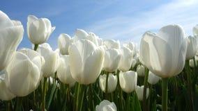 Flower, Plant, Tulip, Flowering Plant stock photos