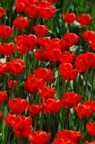 Flower, Plant, Tulip, Flowering Plant stock photo