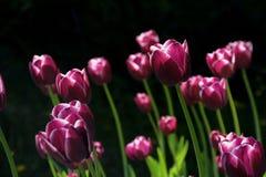 Flower, Plant, Tulip, Flowering Plant stock photo