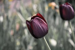 Flower, Plant, Tulip, Spring Royalty Free Stock Photography