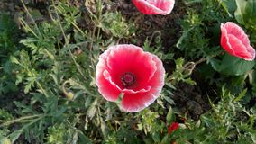 Flower, Plant, Wildflower, Poppy royalty free stock photos