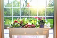 Flower, Plant, Window, Floristry Royalty Free Stock Photography