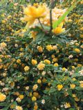 Flower plant. Yellow flower plant with green leaves stock photography