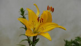 Flower, Plant, Yellow, Lily