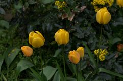 Flower, Plant, Yellow, Tulip Royalty Free Stock Image