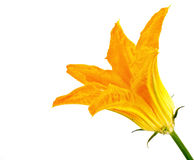 Flower of plant is zucchini or courgette Royalty Free Stock Images