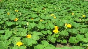 Flower plantation of pumpkins stock video