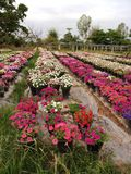 Flower planting. Red, pink, white royalty free stock photo