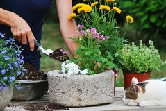 Flower planting. Woman gardener planting flowers in a pot stock images