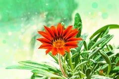 Flower plants Gazania dark orange closeup on green leaves background, Royalty Free Stock Photos