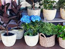 Flower Plants in Pots and Cane Baskets. Display of plants and flowers for sale, including a blue hydrangea, in roughly glazed ceramic pots and tightly woven cane stock image