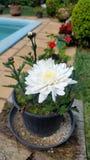 Flower in plastic black vase Royalty Free Stock Photo