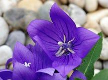 Flower Platycodon grandiflorum Royalty Free Stock Images