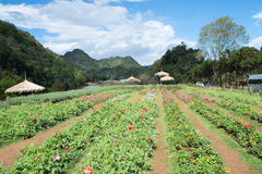 Flower Plot in Angkhang Royalty Free Stock Photos
