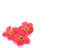 Flower of the plum Royalty Free Stock Images