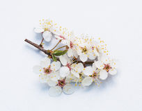 The flower of the plum Royalty Free Stock Images