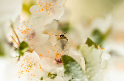 Flower plum tree and bee spring, covered last snow Stock Images