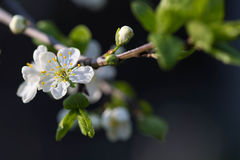 Flower of plum tree on a branch Royalty Free Stock Photo