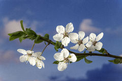 Flower of plum Royalty Free Stock Images