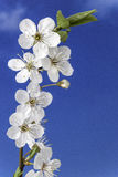 Flower of plum Stock Images
