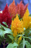 Flower plumed cockscomb or Celosia argentea Royalty Free Stock Image