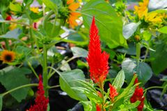 Flower plumed cockscomb red or Celosia argentea beautiful in th. E garden Royalty Free Stock Image