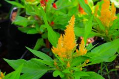 Flower plumed cockscomb yellow or Celosia argentea beautiful in the garden.  Stock Photography