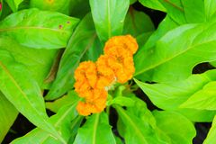 Flower plumed cockscomb yellow or Celosia argentea beautiful in the garden.  Royalty Free Stock Image