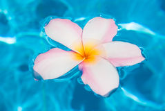 Flower plumer in water Royalty Free Stock Images