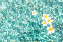 Flowers of plumeria in the turquoise water surface. Water fluctuations copy-space. Spa concept background. Flower of plumeria close-up in the turquoise water stock images